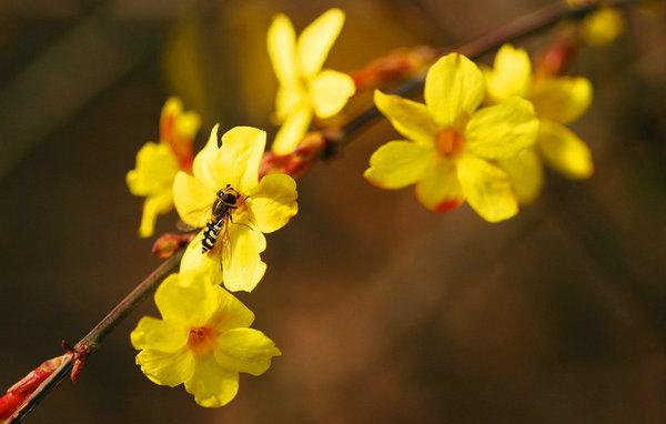 8、迎春花的芳香传到了柳树旁,(www.xuejuzi.cn)看啊,那光秃秃的枝干冒出了新芽,芽儿像一个个充满着好奇心的的小孩子,争先恐后的看着这个奇妙而又不失生机勃勃的新世界;迎春花的香气传到了草地上,小草仿佛是听到了口号一样,一个劲儿的往上长。很快,草地的绿芽就冒出了地面,从远处望去,好似一片绿地毯,为春天穿上了新衣;迎春花的香气飘过了房顶。瞧,那不是牵牛花吗?细嫩的花藤正紧绕着水管努力的向上爬,藤梢的一片绿叶,还没有完完全全的放开,像是一只手在探索着抓住什么东西一样。 9、突然,我惊喜地发现,在一