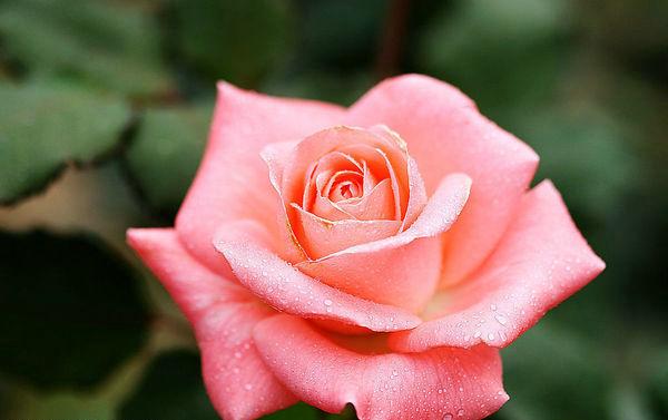 4、每年四五月间,月季花便进入鼎盛时期,都竞相开放。每一朵月季花,都有七八层花瓣紧紧地裹着花蕊,花蕊有桔黄色的、粉红色的、白色的……含苞未放时,花瓣紧紧地相互拥抱着;含笑怒放时,花瓣儿则慢慢地舒展开来,在郁郁葱葱的绿叶间娇羞地露出脸庞来,在百花丛中亭亭玉立。早晨,晶莹透明的露珠儿在花叶间滚动着,在阳光下闪闪发光,月季花就像是一个戴着珍珠项链的美丽的少女在微风中翩翩起舞。一阵阵的清香随风飘来,沁人心肺,蜜蜂和蝴蝶纷纷飞来,欢快地采蜜和传播着花粉。月季花的花期很长,除寒冬外,几乎