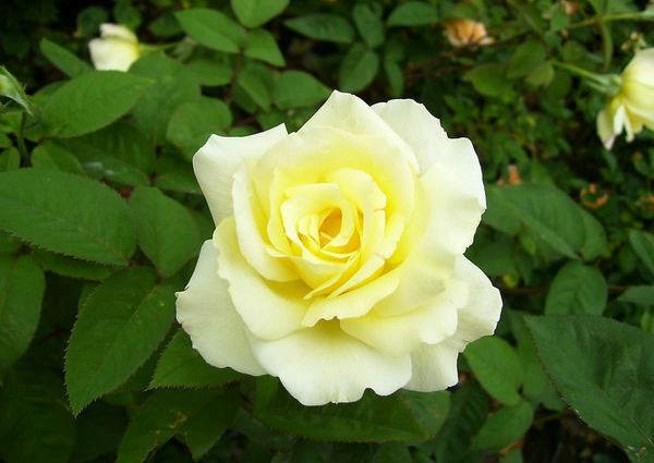 """7、小朋友们!听了我的介绍,你们喜欢上月季花了吗?月季花还象征着美丽、高贵、优雅,并且它是一种世界名贵的花种,在花的世界里,它被称为""""花中皇后""""。好词好句 8、最美的当然是月季花了。花瓣一层一层,紧紧地挨在一起,花蕊是淡黄色的,在花瓣的簇拥下显得格外美丽。听妈妈说,月季花的颜色很多,有红的、粉的、黄的、紫的,还有绿的呢!"""