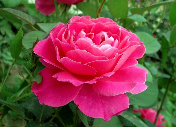 9、我爱月季的花朵,因为它美丽妖冶;(www.xuejuzi.cn)我爱月季的香气,因为它沁人心脾;我爱月季的绿叶,因为他在默默中获得永恒,在无闻中保持长青;我更爱那整株月季,因为它给了我人生的哲理,现实的真谛。 10、月季花们开的鲜艳多了也许在为蜜蜂和小彩蝶打着节奏。甜润的花香,在清新的空气里在我们周围传散开,一阵阵扑鼻而来的香气。太阳照在月季花的露珠上,显得十分灿烂。花蕾里的露珠被太阳晒的金光闪闪上午,月季花露出了粉红色的脸颊。紫色的藤开出了许许多多的晶莹的小花,像一串一串的小葡萄似的。
