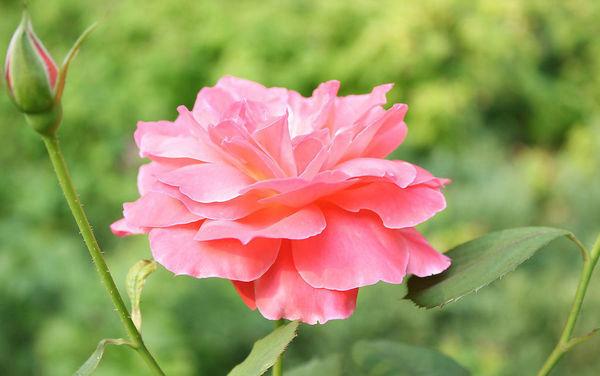 11、月季花的品种繁多,在国内、外就有两万多个品种。它的花蕊像一个个小小的橄榄,它的花瓣非常特别,大多数花的花瓣是向上的,而它的花瓣却向下卷曲着。它的主茎上还长着又坚又硬的大剌,就像一个小剌猬卷曲在那。它的叶子和茎是墨绿色的,它的嫩叶是翠绿色的,对花蕾起保护作用,它的香味更是清香怡人,沁人心脾。 12、万紫千红姹紫嫣红绿肥红瘦花团锦簇繁花似锦五颜六色落英缤纷香气扑鼻红杏出墙杏雨梨云 13、它的叶子是椭圆形的,一片片叶子挨挨挤挤,层层叠叠,长得特别茂盛。我发现根部的叶子是深绿色,而顶端的则是暗红的,叶子的