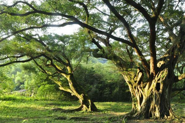 3、啊!大榕树,我喜欢它那伟岸、挺拔的身躯,更喜欢它不屈的意志。我爱大榕树粗壮的树干、苍劲繁茂的枝叶,更爱它那始终饱含着旺盛活力的博大胸怀。我真为故乡拥有这些珍贵榕树而倍感自豪,能欣赏到它,就为人们带来愉悦,这是我十分欣慰的。啊!大榕树,我祝愿你青春常在,生命永恒!人们会永远赞美你的。 4、古榕树根如蟠龙,皮若裂岩,像个百岁老人,捋着长须。 5、每天早晨六点去锻炼身体都能看见那棵榕树。(www.
