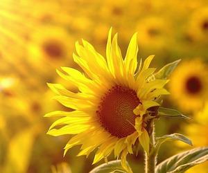 描写太阳花的句子