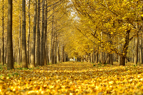 4,青清园的竹、鸳鸯湖畔的银杏树及松鹤园里的松柏等落叶飘洒,枯萎之美等你来邂逅。 5,北京最美的季节是秋天。红螺寺内有雌雄银杏,东侧为雌,结果但不开花;西侧为雄,开花但不结果。西侧的雄性银杏,树高30米,主干四周,生有十株侧干……这时的银杏树最漂亮,金色的树叶飘落在寺院地上,就像铺满了金箔一样的庄严、辉煌!