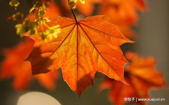 描写秋天枫叶的句子及图片