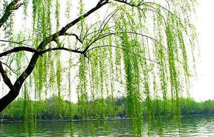 生气了图片_关于柳树的句子及图片