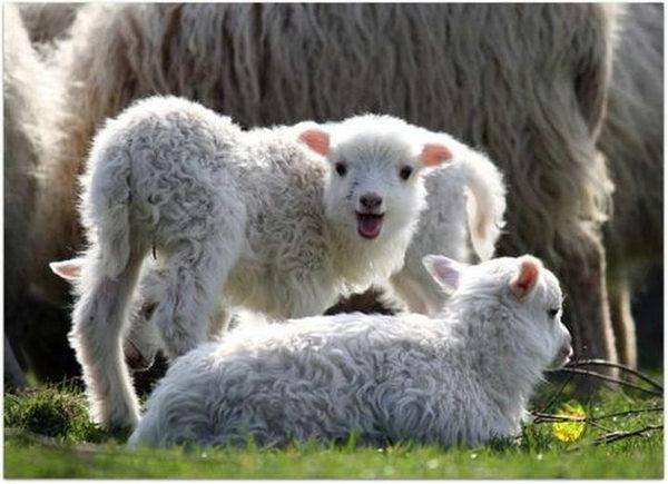 老羊那么疼爱小羊,只见它低着头,伸着脖子,在小羊身上舔来舔去.