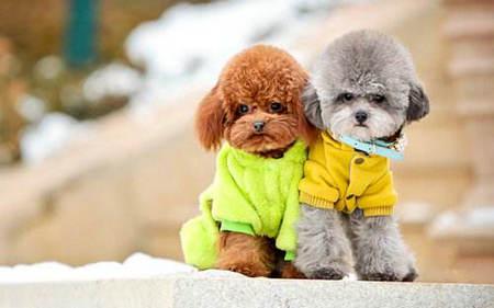 泰迪狗简介及泰迪狗图片