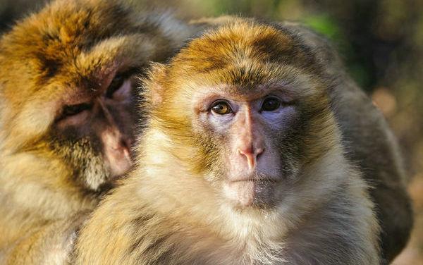 描写猴子的句子及图片