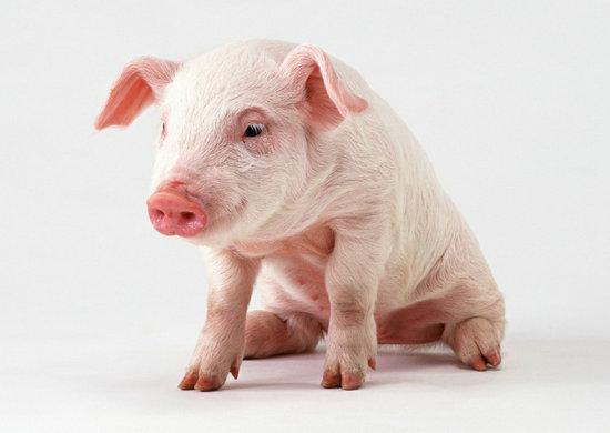 描写猪的句子及图片