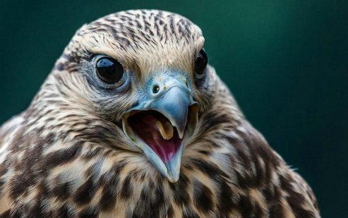 描写老鹰的句子及图片,老鹰图片