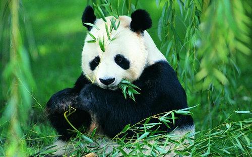有关于描写形容大熊猫的句子及图