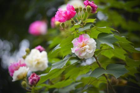 赞美芙蓉花的花语图片