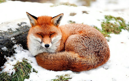 描写狐狸的句子及图片,关于形容