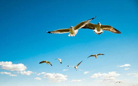 描写海鸥的句子及图片