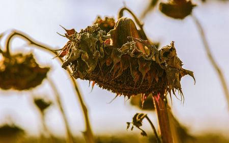 花朵枯萎图片