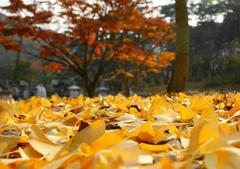秋天的银杏句子及图片,描写秋天